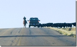 Cattle Crossing in the Boonies of South Dakota