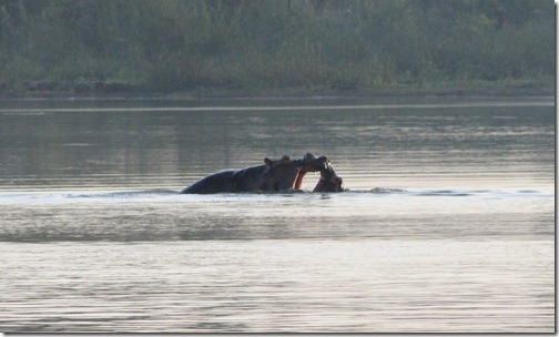 Hippos Kissing in the Blue Nile