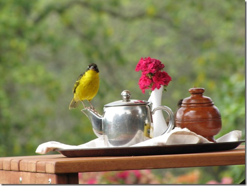 Weaver Bird on Teapot